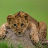 lion-cubs-images-free-wallpaper
